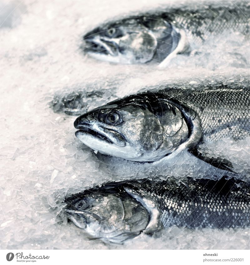 Freitag ist Fischtag Eis Frost Tier Schuppen Lachs 3 lecker Ernährung Lebensmittel Kopf Totes Tier Tod Gedeckte Farben Textfreiraum links Tierporträt Oberkörper