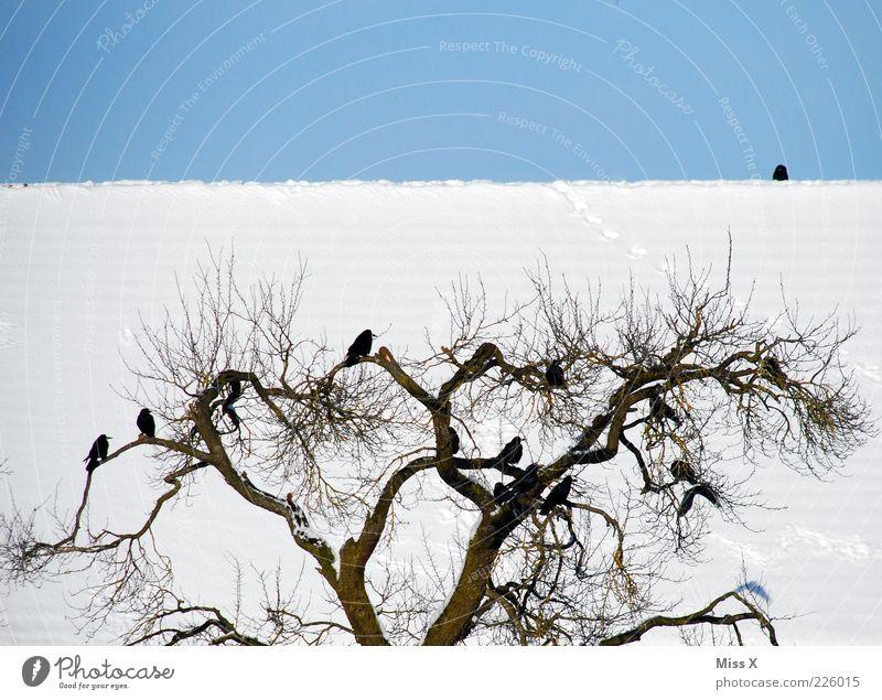 Krähen Baum Winter Tier kalt Vogel sitzen Wildtier Dach Schönes Wetter Baumkrone Blauer Himmel Schwarm Zweige u. Äste Wolkenloser Himmel