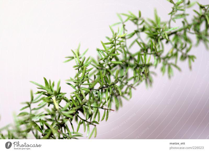Grüne Ranke Natur Pflanze Sträucher Blatt Grünpflanze Topfpflanze exotisch stachelig grün Ast Zweig Dorn Farbfoto Menschenleer Textfreiraum links