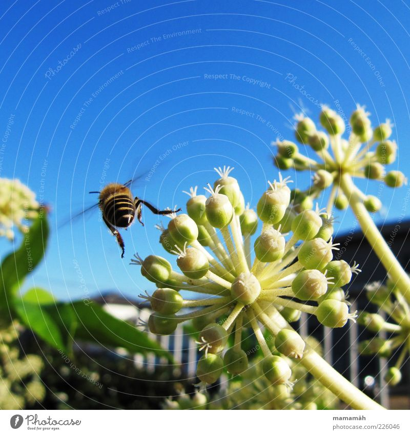Ich mach nen Abflug Tier Biene fliegen Blume Pflanze Himmel Insekt Pollen Sommer Freiheit Nahaufnahme Rückansicht Bewegungsunschärfe 1