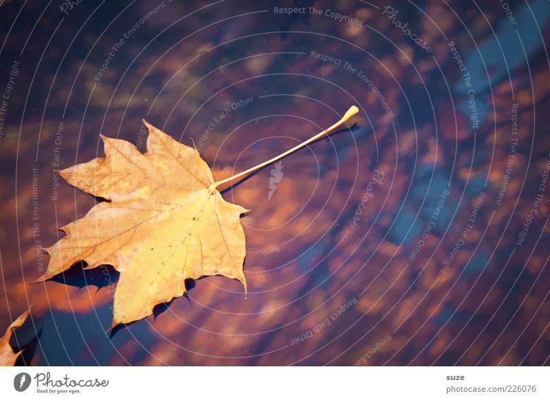Fundstück Natur schön Pflanze Blatt gelb Herbst liegen Wetter gold glänzend leuchten ästhetisch einzeln Jahreszeiten Herbstlaub herbstlich