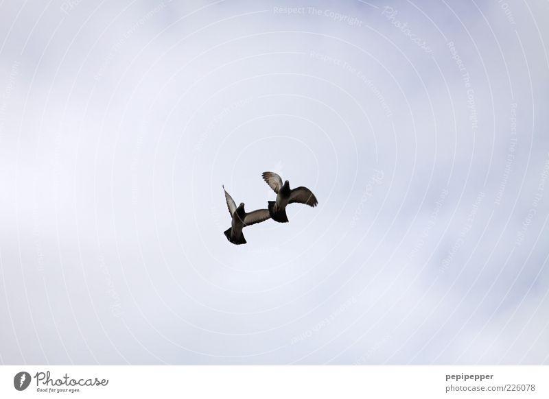 Parallelflug Himmel Wildtier Vogel Flügel 2 Tier Brunft fliegen Jagd Bewegung Natur Zusammenhalt Gedeckte Farben Außenaufnahme Tag Froschperspektive Totale
