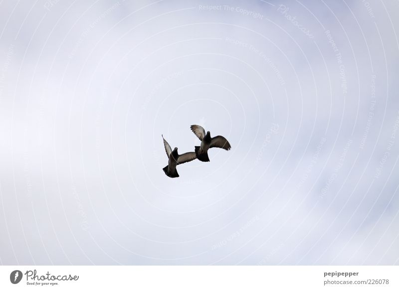 Parallelflug Natur Himmel Tier Bewegung Freiheit Vogel fliegen Flügel Wildtier Jagd Taube Zusammenhalt fliegend Brunft Tierliebe Vogelflug