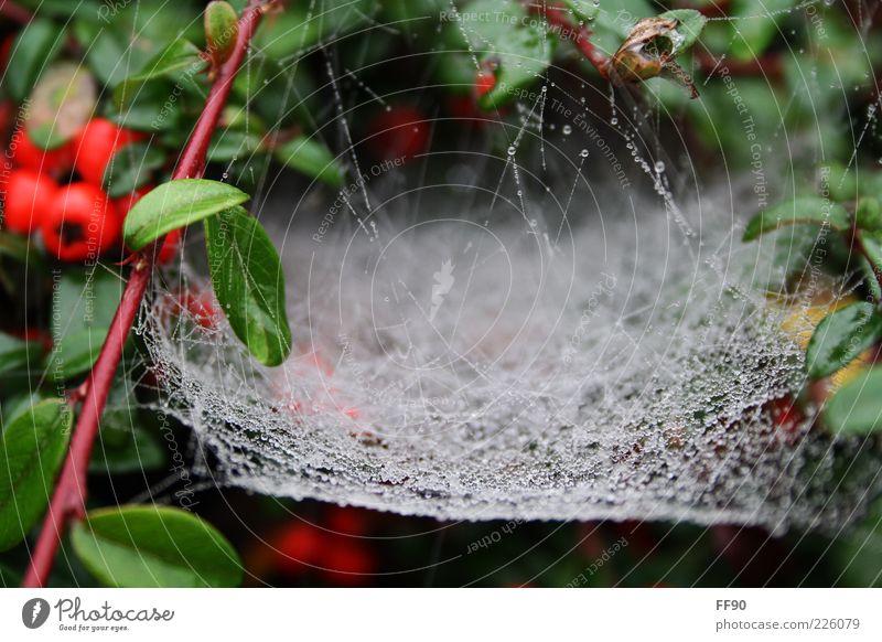 Ab ins Netz Natur weiß grün Pflanze Regen nass Wassertropfen Sträucher natürlich feucht Tau Spinnennetz