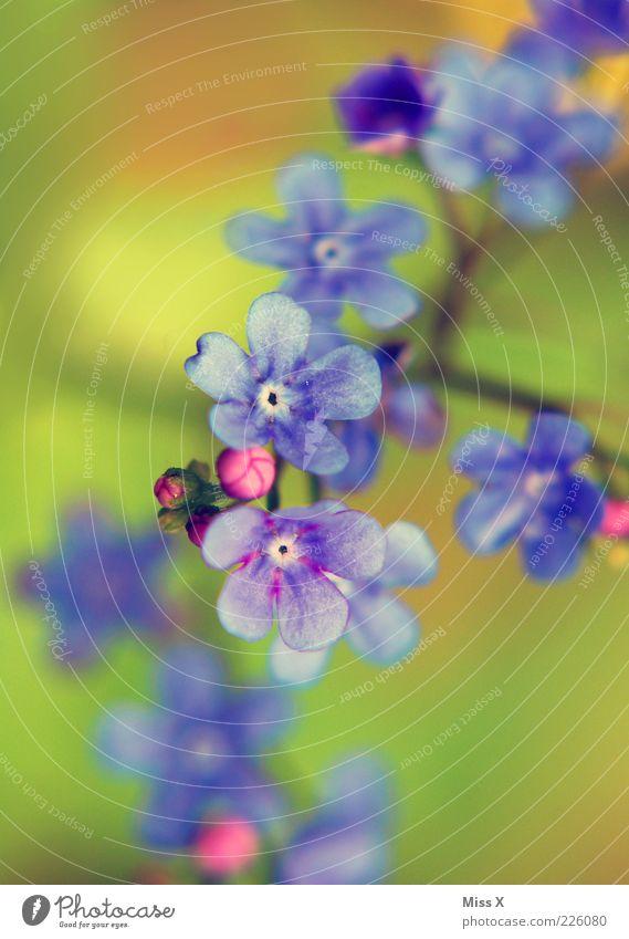 nicht vergessen! Pflanze Frühling Sommer Blume Blüte Blühend Wachstum Farbenspiel Blütenblatt Vergißmeinnicht blau violett Blütenknospen Farbfoto Außenaufnahme