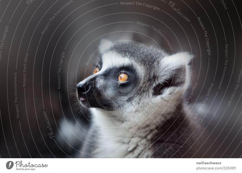Katta Tier Wildtier Tiergesicht Fell Zoo Halbaffe 1 Tierjunges beobachten ästhetisch grau schwarz weiß Farbfoto Gedeckte Farben Nahaufnahme Detailaufnahme