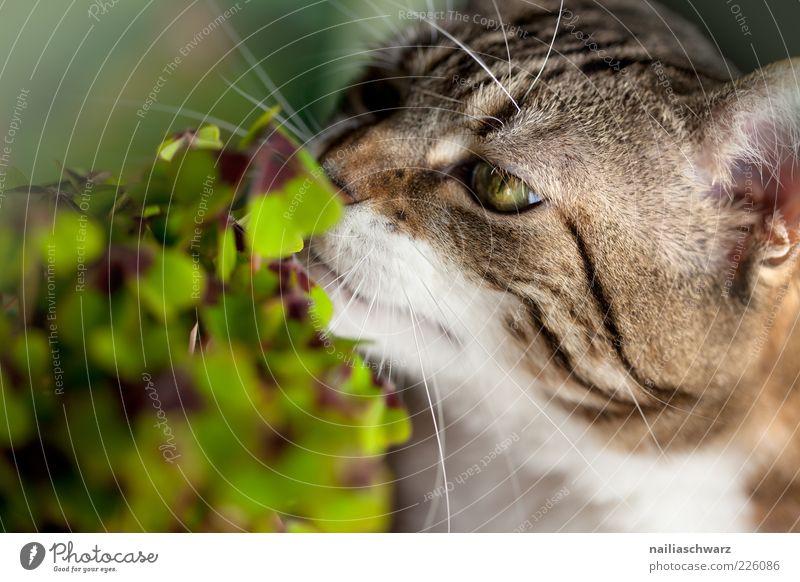 Katzenklee Umwelt Natur Pflanze Tier Blatt Grünpflanze Klee Kleeblatt Glücksklee Haustier Tiergesicht 1 Duft Geruch Neugier Farbfoto mehrfarbig Innenaufnahme