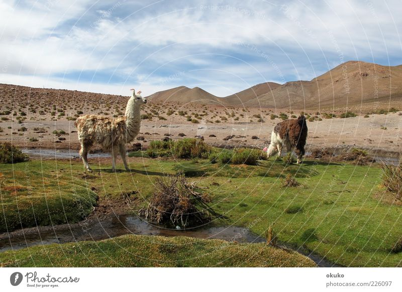 blau grün Tier Ferne braun Horizont Zufriedenheit frisch frei Abenteuer Gelassenheit Wüste Tradition selbstbewußt saftig geduldig