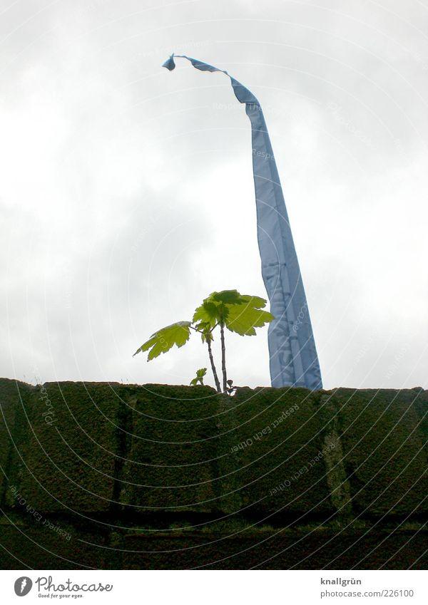 Hinter der Mauer Himmel Natur grün blau Baum Pflanze Wolken Blatt dunkel Wand Umwelt oben Mauer hell braun Kraft