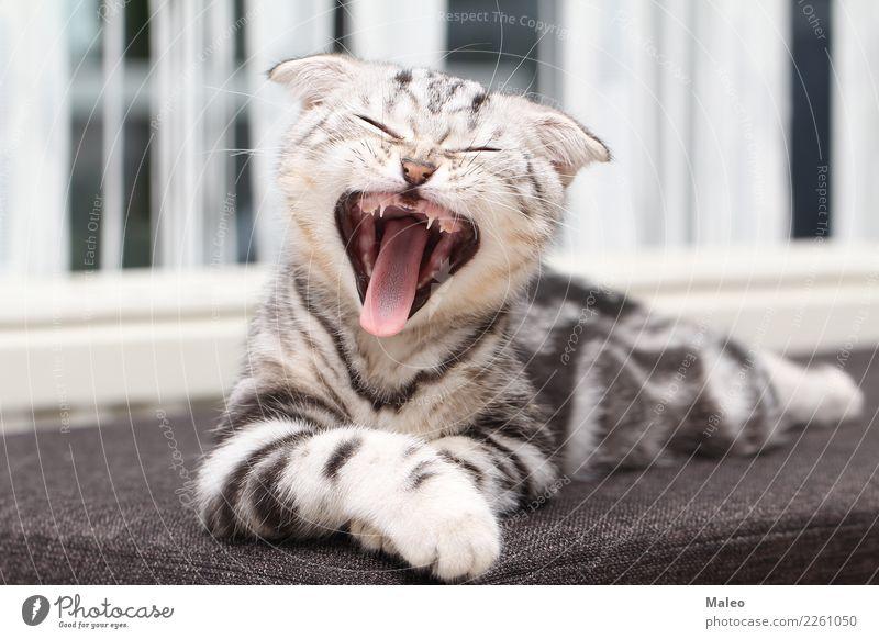 Das Kätzchen gähnt Katze schön Tier klein grau sitzen Haustier Hauskatze Säugetier Englisch kurzhaarig Katzenbaby Liebling gähnen Katzenauge Reinrassig