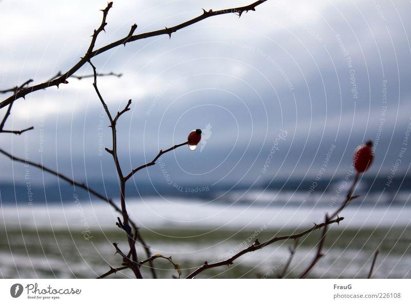 Nach dem Regen Winter Landschaft Wassertropfen Himmel Schnee Pflanze Sträucher Tropfen natürlich braun rot Stimmung Natur Farbfoto Außenaufnahme Tag Zweig