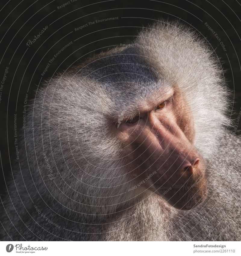 Head shot of a monkey with grey hairs Natur Tier Stimmung Park Zoo Tiergesicht