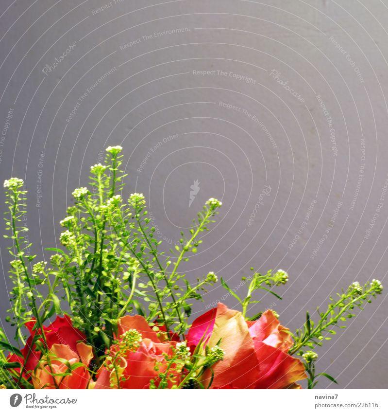 und Rosen grün Pflanze rot ruhig Gefühle Blüte Frühling Glück Zufriedenheit Rose Blumenstrauß Anschnitt Frühlingsgefühle