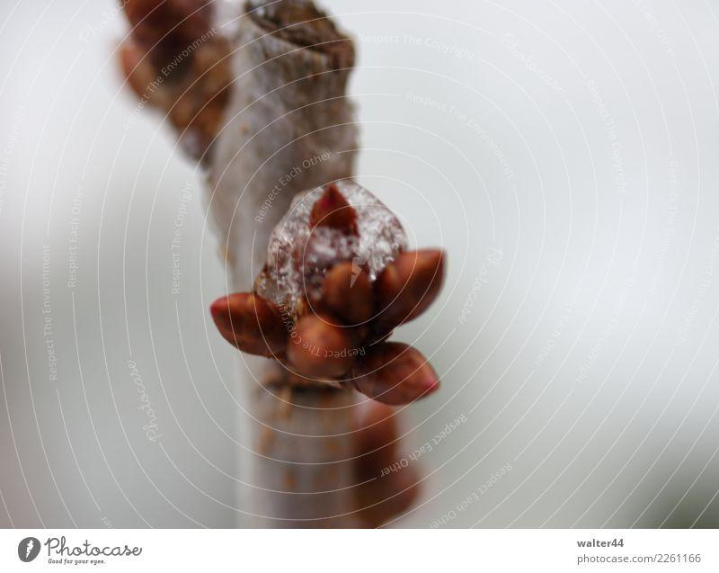 Kirsche Umwelt Natur Pflanze Wetter Eis Frost Schnee Baum Garten rot Kirschbaum Blütenknospen Farbfoto Außenaufnahme Nahaufnahme Tag Schwache Tiefenschärfe