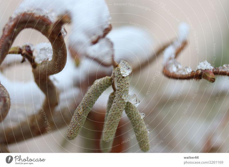 Haselnuss Umwelt Natur Pflanze Wetter Eis Frost Schnee Baum Grünpflanze Garten grün Farbfoto Außenaufnahme Tag Schwache Tiefenschärfe Zentralperspektive