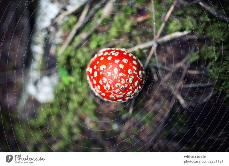 Hello mushroom! Pflanze rot Waldboden Pilz Pilzhut Fliegenpilz Farbfoto