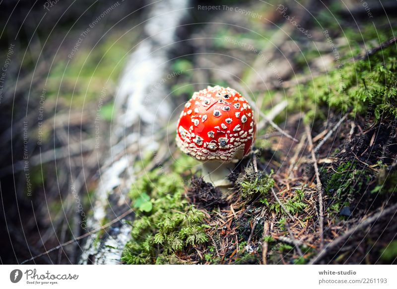 Bob der Fliegenpilz Pflanze klein rot Gift Pilz Pilzhut Natur Farbfoto