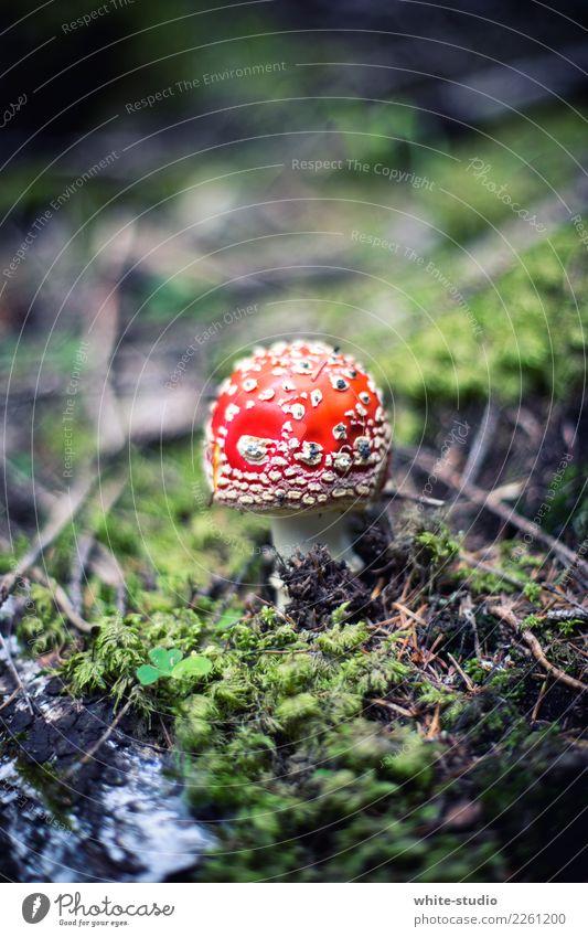 Pilz mit Fliegen Pflanze Umwelt Fliegenpilz rot Moos Waldboden Gift Pilzhut Farbfoto