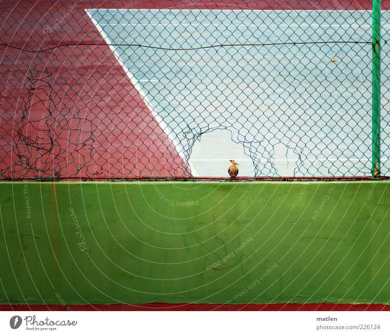 champion grün Tier Sand Mauer Vogel rosa kaputt Coolness beobachten Loch Publikum Tennis achtsam Barriere Sportplatz Strukturen & Formen