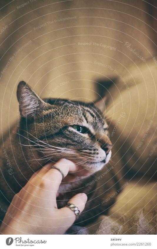 Europäische Tabbykatze Katze schön Erholung Tier ruhig Freude gelb Liebe natürlich Glück braun Stimmung Freundschaft genießen Fröhlichkeit Coolness