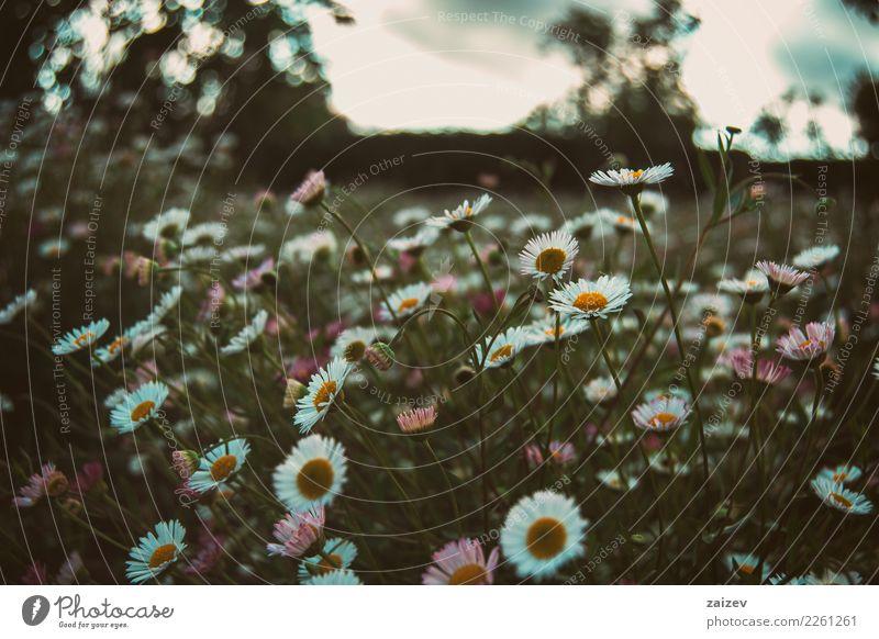 Wiese von weißen und rosa Blumen im bewölkten Himmel Natur Pflanze blau Sommer schön grün dunkel gelb Blüte Frühling natürlich feminin Glück