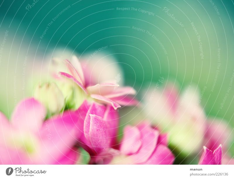 softy Natur schön Pflanze Blume Blüte Frühling hell rosa zart Duft sanft Blütenblatt grün sommerlich Frühlingsgefühle Frühlingsblume