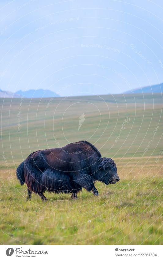 Schwarzes männliches Yak in der Wiese Ferien & Urlaub & Reisen Schnee Berge u. Gebirge wandern Mann Erwachsene Kultur Natur Landschaft Tier Wolken Gras