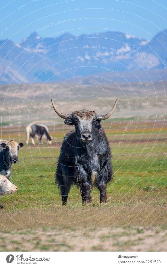 Männliches Yak in der Weide, Kirgisistan Ferien & Urlaub & Reisen Schnee Berge u. Gebirge wandern Mann Erwachsene Kultur Natur Landschaft Tier Wolken Gras Wiese