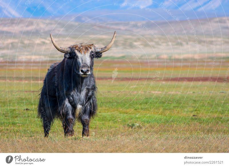 Männliches Yak in der Weide, Kirgisistan Ferien & Urlaub & Reisen Schnee Berge u. Gebirge wandern Kultur Natur Landschaft Tier Wolken Gras Wiese Pelzmantel Kuh