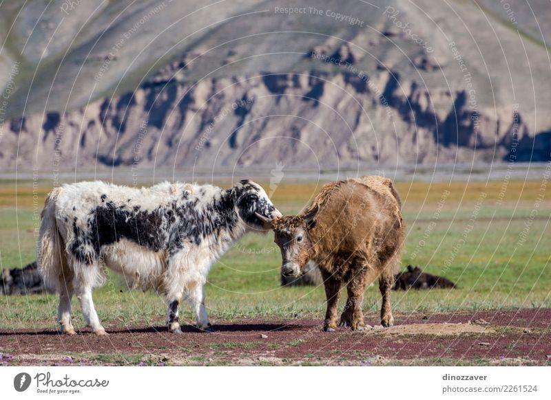 Yaks auf der Weide, Kirgisistan Ferien & Urlaub & Reisen Schnee Berge u. Gebirge wandern Kultur Natur Landschaft Tier Wolken Gras Wiese Pelzmantel Kuh wild blau