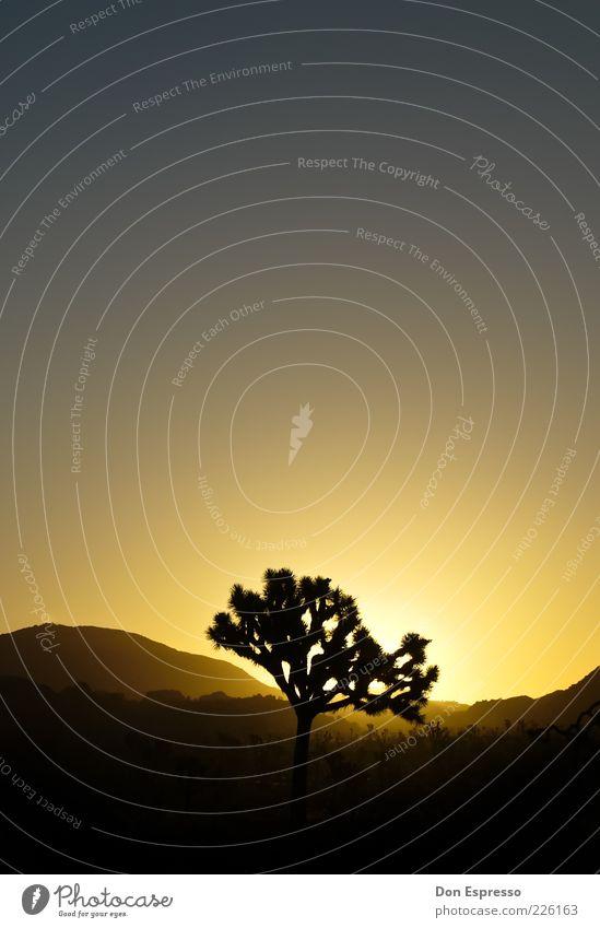 Joshua Tree Natur Baum Landschaft Zufriedenheit Kalifornien Wolkenloser Himmel Palme Joshua Tree Joshua Tree National Park