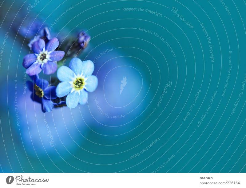 unforgettable Natur Frühling Pflanze Blume Blüte Vergißmeinnicht Frühlingsblume Duft authentisch einfach schön natürlich blau Frühlingsgefühle Farbfoto