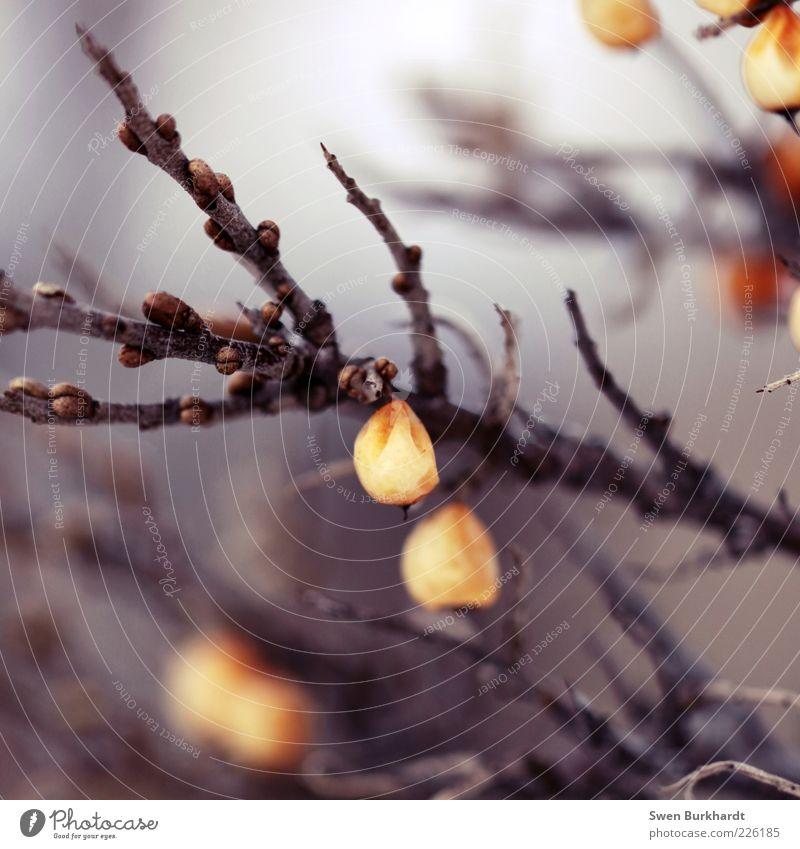 frozen fruits Pflanze Winter Umwelt Ernährung Herbst Lebensmittel orange Gesundheit Frucht Sträucher Spitze trocken gefroren Bioprodukte Blütenknospen Vitamin