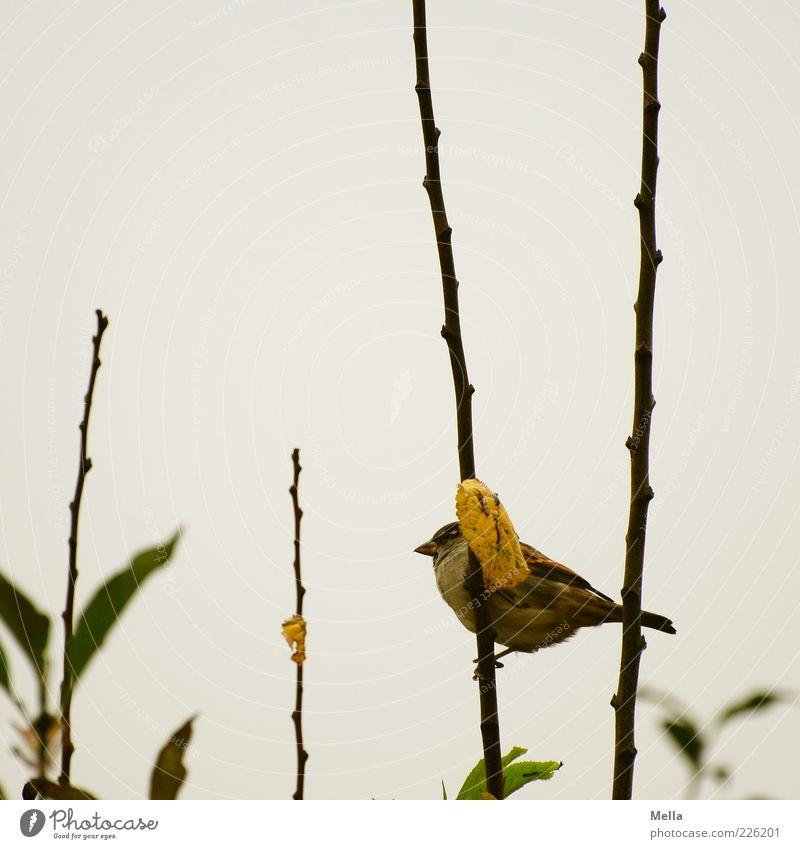 Spatzenwinter Natur Pflanze Blatt Winter Tier Herbst Umwelt grau klein Vogel sitzen natürlich trist Sträucher niedlich festhalten