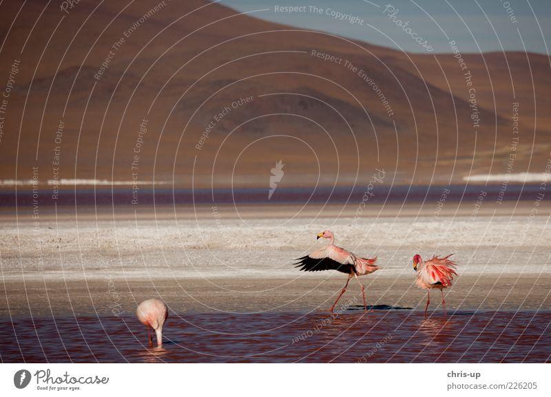 Flamingos in Anden Wasser Pflanze Ferien & Urlaub & Reisen Ferne Tier Freiheit Berge u. Gebirge Landschaft Kopf See Vogel rosa Wildtier Tiergruppe Flügel