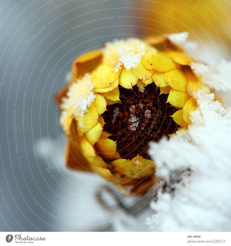 schöner Frost Pflanze Winter Wetter Eis Schnee Blume Blüte Blütenblatt Blühend verblüht kalt gelb weiß Kraft Trauer Überleben Umwelt Verfall Vergänglichkeit