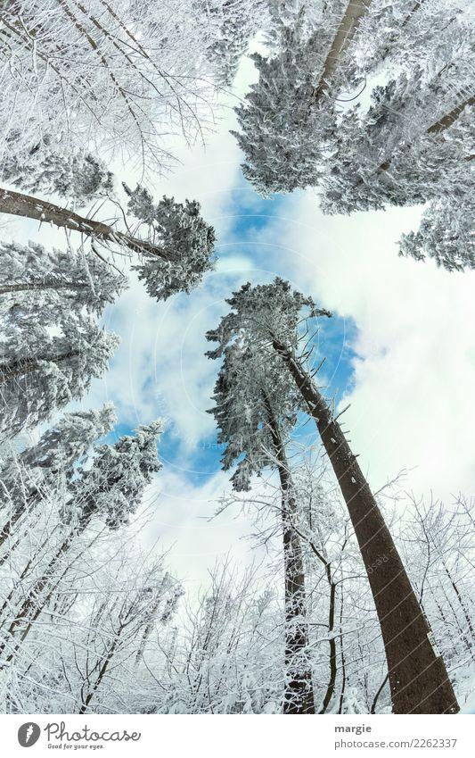 Zugeneigt: Winterbäume Umwelt Natur Klima Schönes Wetter Eis Frost Schnee Schneefall Grünpflanze Wald blau weiß Nadelbaum Nadelwald Tannennadel Baum Baumkrone