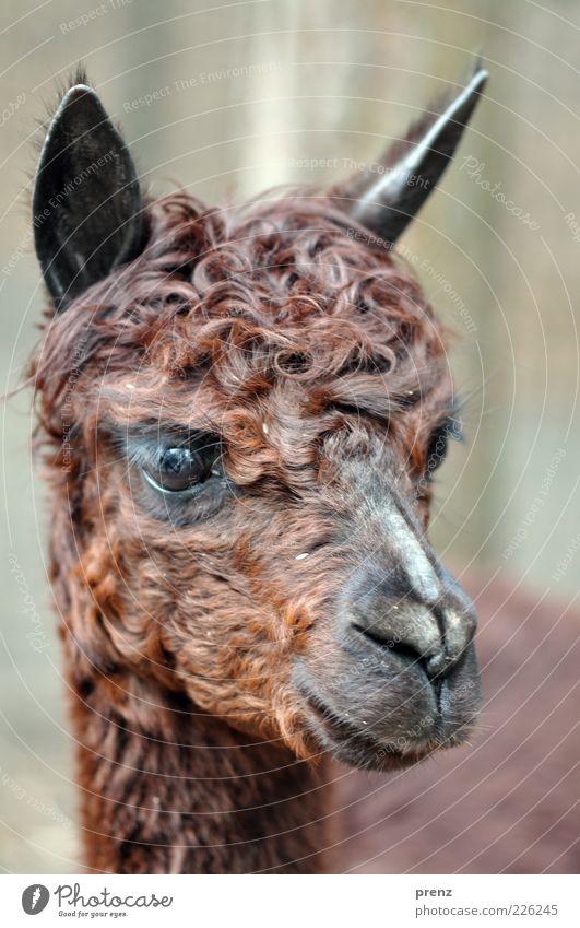 alpaka Tier Nutztier braun Lama Säugetier Paarhufer Farbfoto Außenaufnahme Tag Schwache Tiefenschärfe Tierporträt Vorderansicht Blick nach vorn Maul Auge