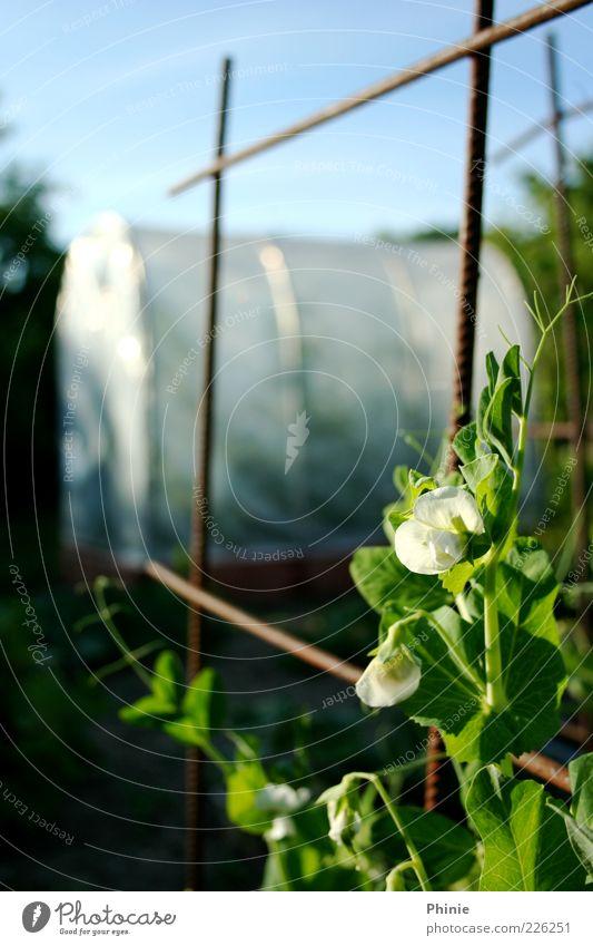 So wachsen Zuckererbsen Himmel Natur blau grün weiß schön Pflanze Sonne Sommer Blatt Blüte Bewegung Sand braun Feld Wachstum