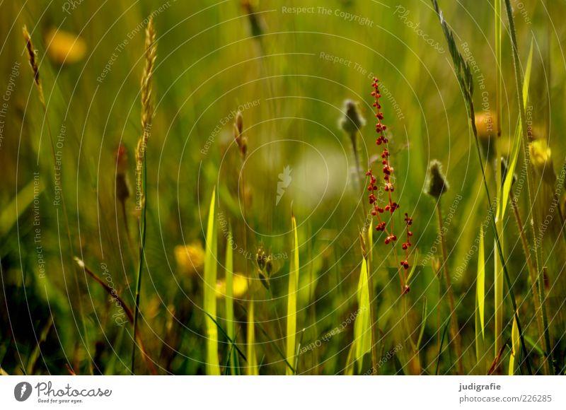 Wiese Natur grün Pflanze Sommer Umwelt Gras Wachstum natürlich Duft Wildpflanze