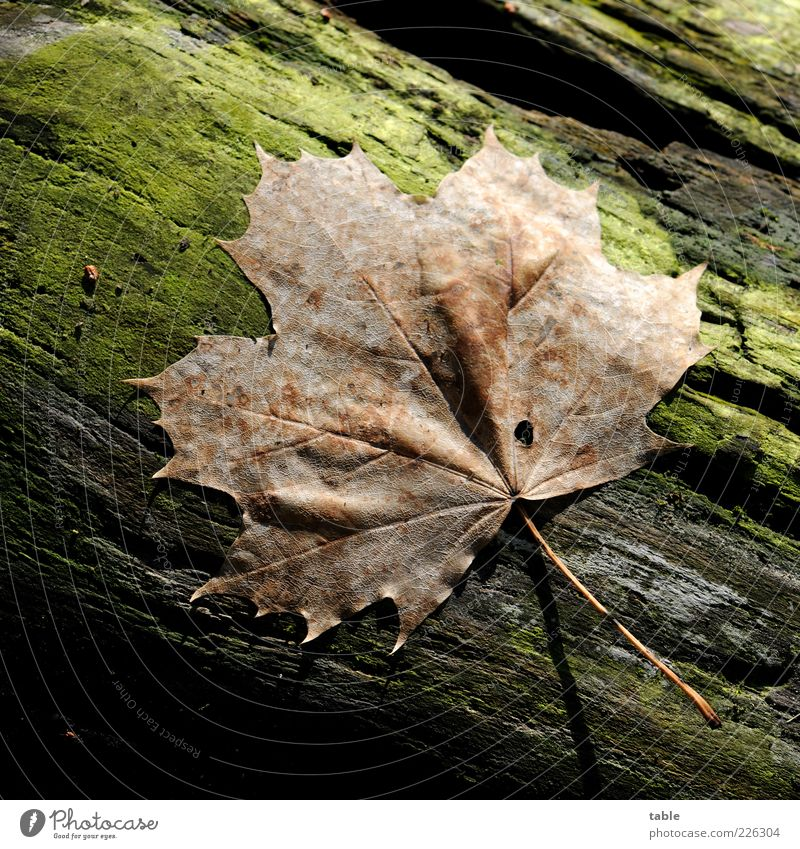 Herbst Natur grün Pflanze Blatt Umwelt Holz braun liegen natürlich trocken Baumstamm Moos Ahorn Blattadern welk