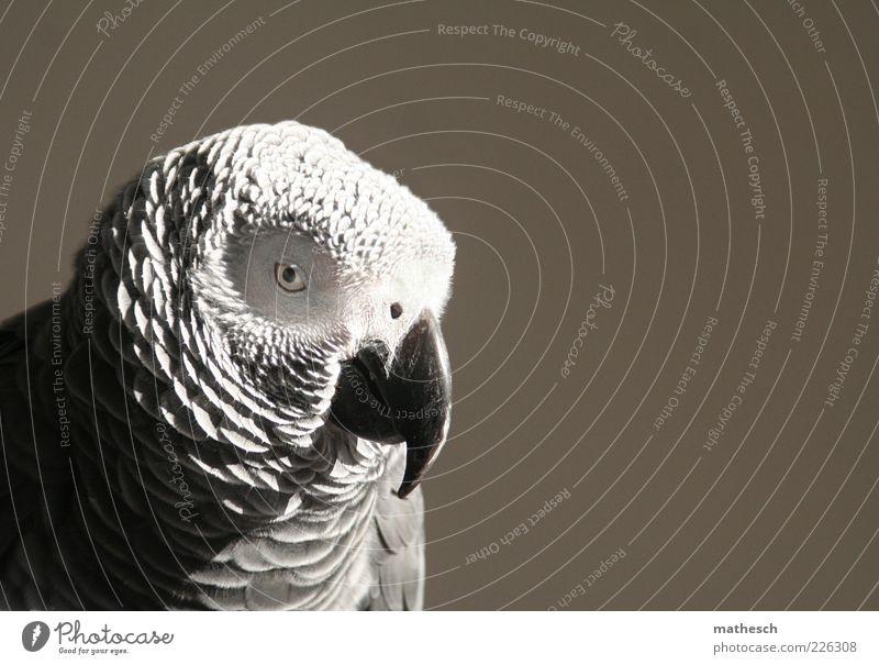 . Tier Vogel Tiergesicht 1 exotisch wild grau Papageienvogel Graupapagei Farbfoto Nahaufnahme Textfreiraum rechts Hintergrund neutral Tag Kontrast Tierporträt