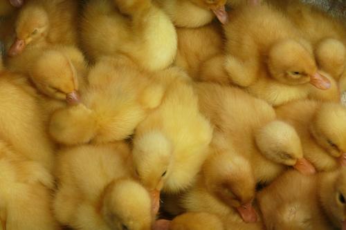 Küken Kind Tier gelb Tierjunges Vogel Tiergruppe Flügel viele Bauernhof nah Bioprodukte ökologisch Ente eng Landwirt Nutztier