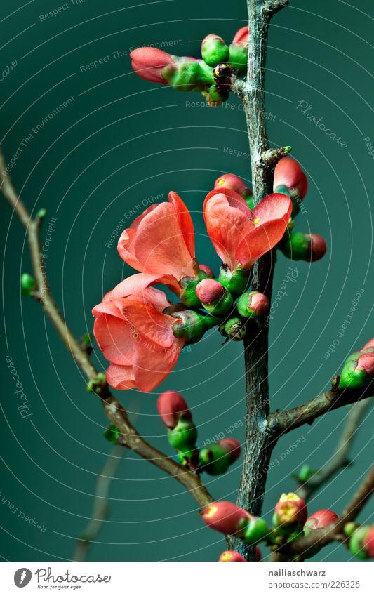 Kirschblüten Umwelt Natur Pflanze Frühling Blume Blüte Nutzpflanze Kirschbaum Ast Holz Blühend ästhetisch braun grün rot Farbfoto mehrfarbig Innenaufnahme
