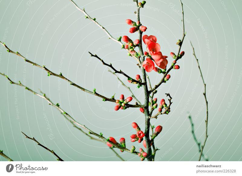 Kirschblüten Natur grün Pflanze rot Blume Umwelt Blüte Frühling Beginn ästhetisch Ast Blühend Blütenknospen Zweig Zweige u. Äste