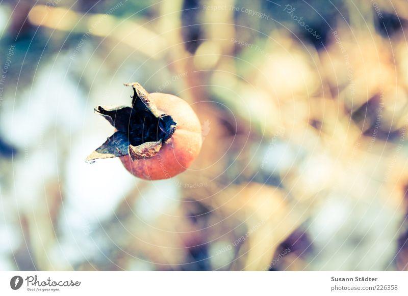 wärme Natur Herbst trocken vertrocknet herbstlich Hagebutten