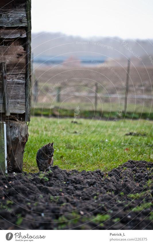 Komm wir spielen Katz und Maus grün Tier Leben Freiheit Holz Katze Erde Feld sitzen frei beobachten Neugier fangen Jagd listig Holzhütte
