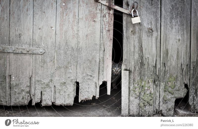 hinter verschlossenen Türen Tier Katze Tierjunges entdecken warten alt Schutz Angst Scheune Holz Schloss Neugier fokussieren Farbfoto Außenaufnahme