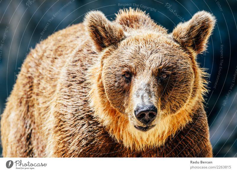 Natur Landschaft Tier Umwelt braun wild Wildtier Säugetier Europäer Tiergesicht Aggression nordisch Bär Alaska Fleischfresser Taiga