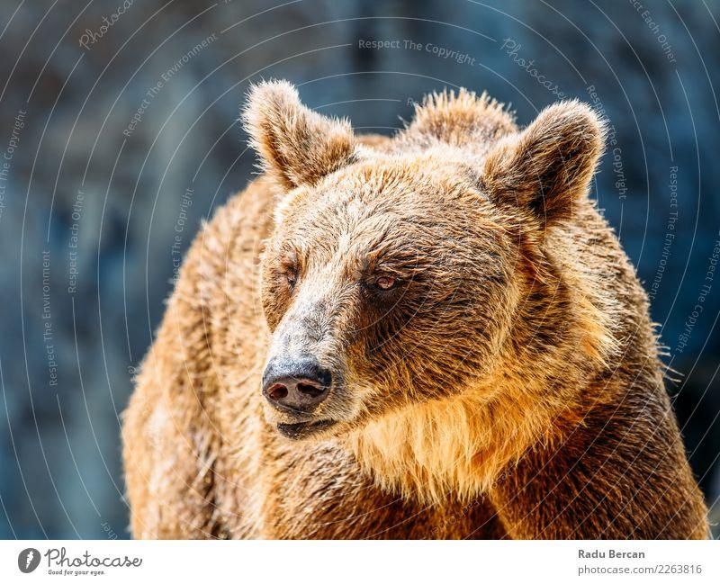 Braunbär (Ursus Arctos) Porträt Tier Wildtier Tiergesicht 1 stehen groß wild braun schwarz Natur Bär Hintergrund Tierwelt Säugetier Grizzly ursus arctos